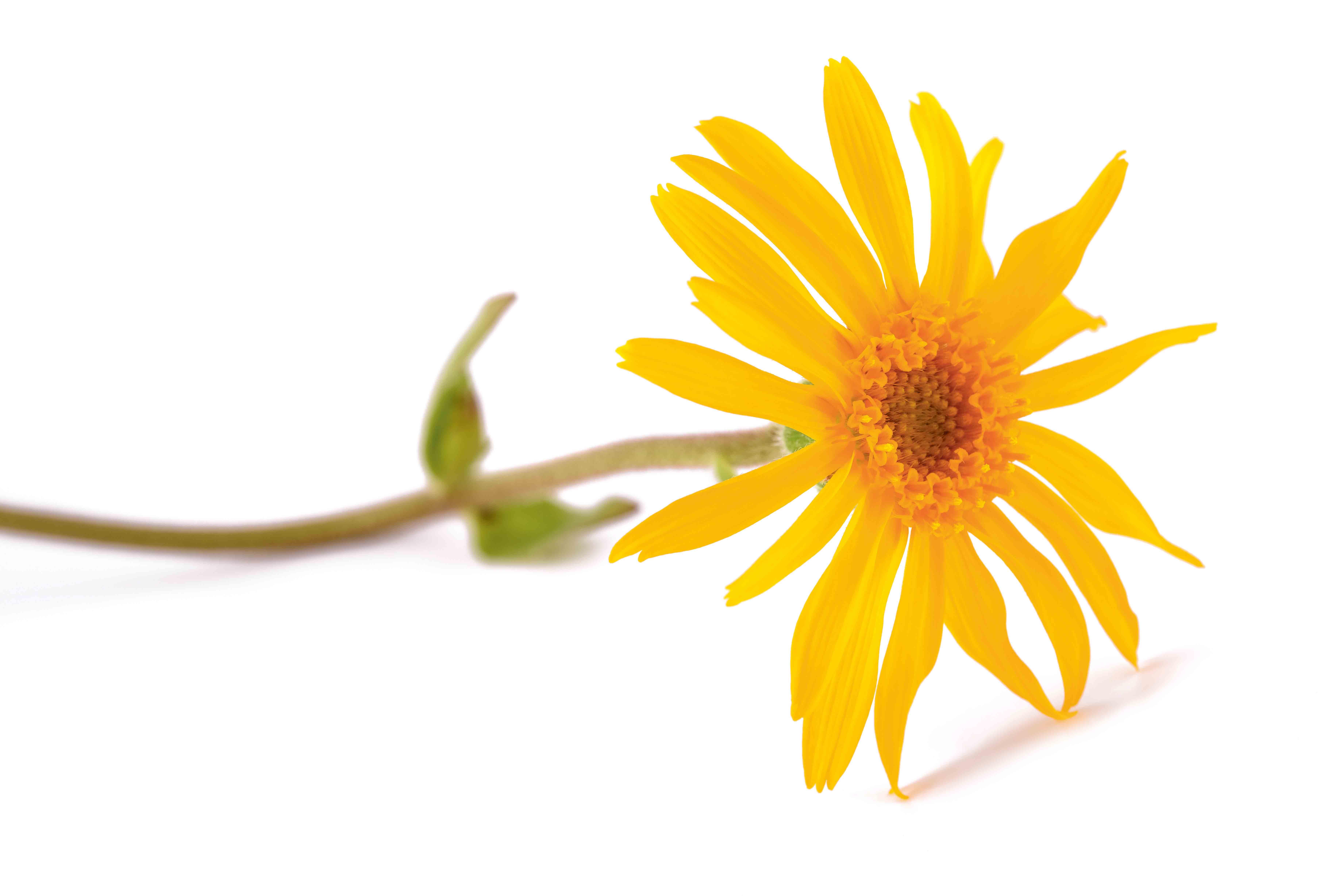 Die Arnika findet in der Homöopathie Anwendung.